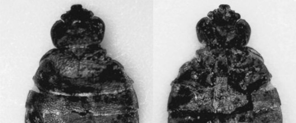 PHOTO: The subfossil remains of 14 cimicids also known as bed bugs were recovered during archaeological investigations of the Paisley Five Mile Point Cave site in south-central Oregon.