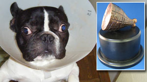 Photo: Twelve Bizarre Pet Accidents Vie For First â??Hambone Awardâ??: Public to Vote for Yearâ??s Most Unusual Pet Health Insurance Claim