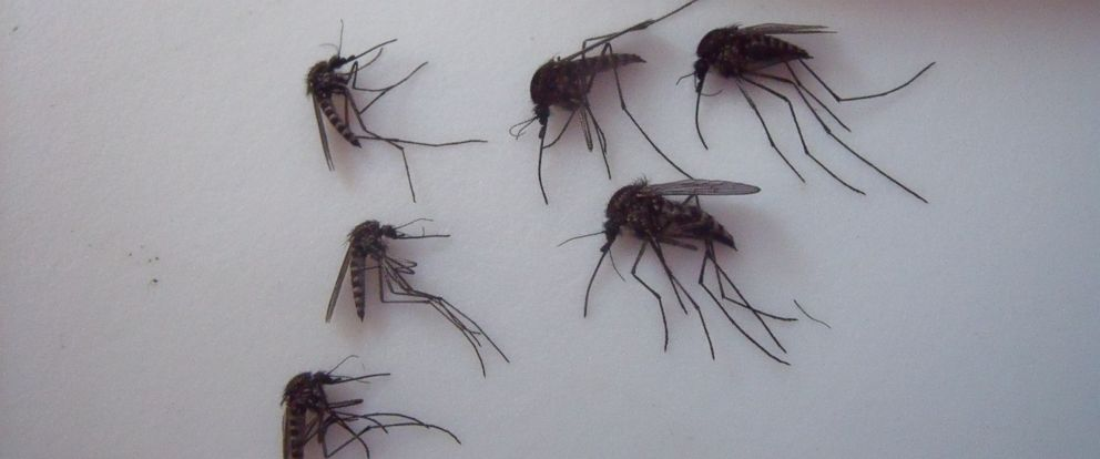 PHOTO: Scientists are investigating how climate change could affect these thriving giant Arctic mosquitoes.