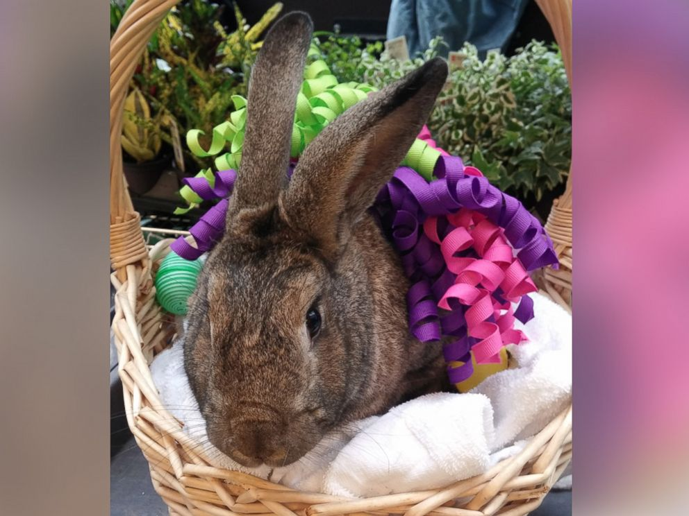 PHOTO: Therapy bunnies Nutmeg and Clovis visit patients for Bunny Day, a nondenominational springtime celebration at NYU Langone Medical Center, New York.