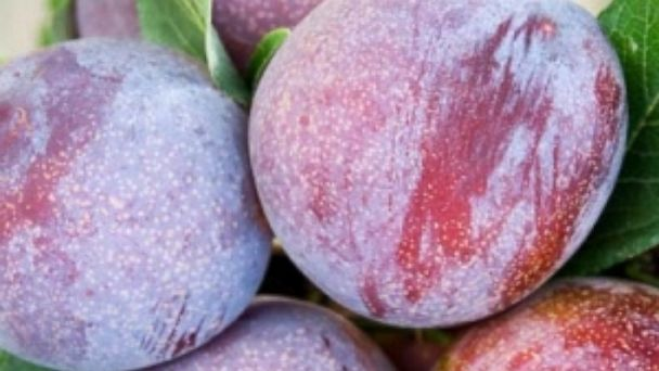 PHOTO: Pluot plums are seen in this undated photo.