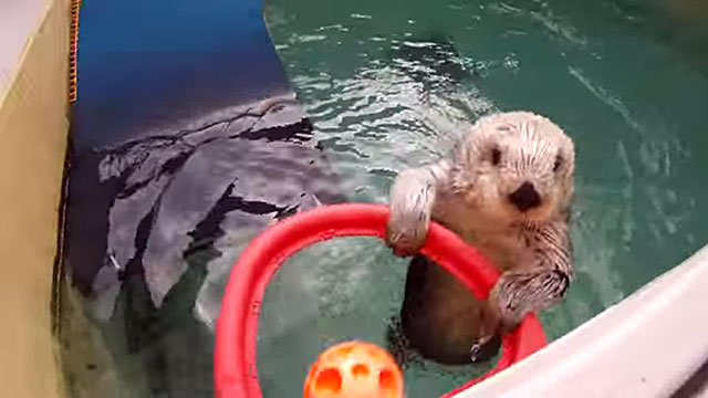 "PHOTO: Eddie the sea otter plays basketball to exercise his arthritic elbows at the Oregon Zoo in a youtube video posted by the zoo called, ""Sea Otter Hoop Dreams,"" Feb. 19, 2013."