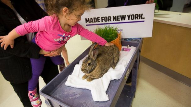 """PHOTO: Therapy bunnies live in NYU Langone Medical Center, where they're """"on-call"""" to visit with adults and children at the hospital."""