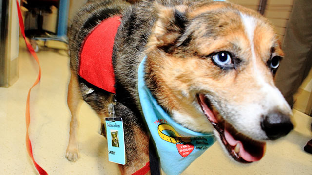 PHOTO: Spirit has been trained as a pet enrichment therapy dog, a role he takes seriously in the palliative care unit at Montifiore Medical Center in the Bronx in New York City as seen here in this undated handout photo.