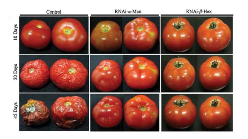 calgene inc and genetic engineering Biotechnology and genetic engineering calgene inc, 1920 fifth st, davis, calif 95616 reduction of polygalacturonase activity in tomato fruit by antisense rna.