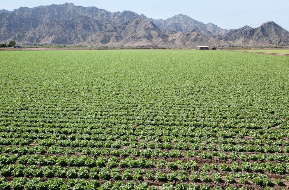 PHOTO: Rows of lettuce plants are pictured in this undated photo in Yuma, Ariz.
