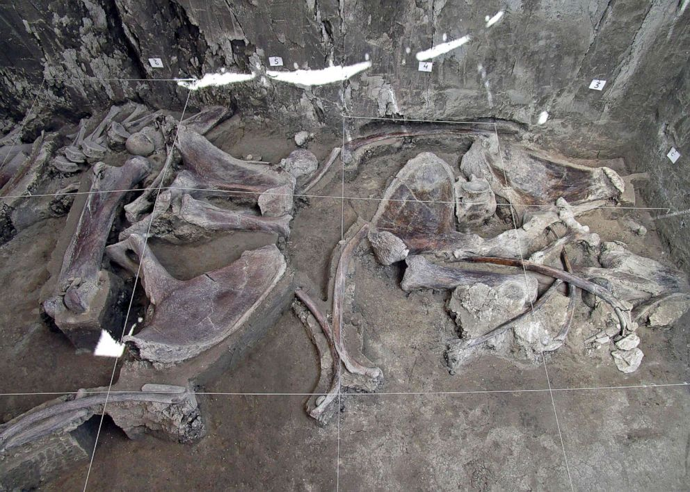 PHOTO: The bones of at least 14 mammoths bones were found in what is believed to be the first mammoth trap set by humans, in Tultepec, Mexico, in a photo released by Mexicos National Institute of Anthropology (INAH).
