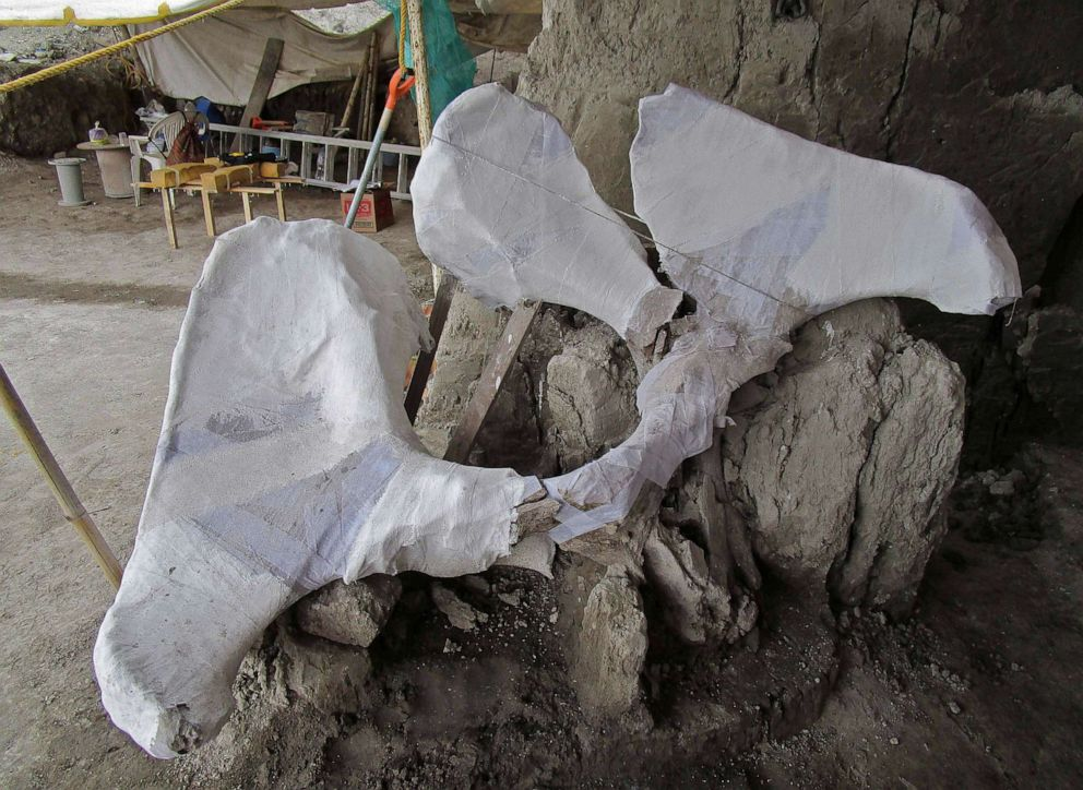 PHOTO: Mammoth bones found in what is believed to be the first mammoth trap set by humans, in Tultepec, Mexico, in a photo released by Mexicos National Institute of Anthropology (INAH).