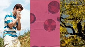 maple pollen