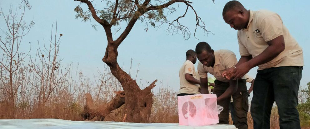 PHOTO: Marked mosquitoes are ready to be released at dusk in Burkina Faso.