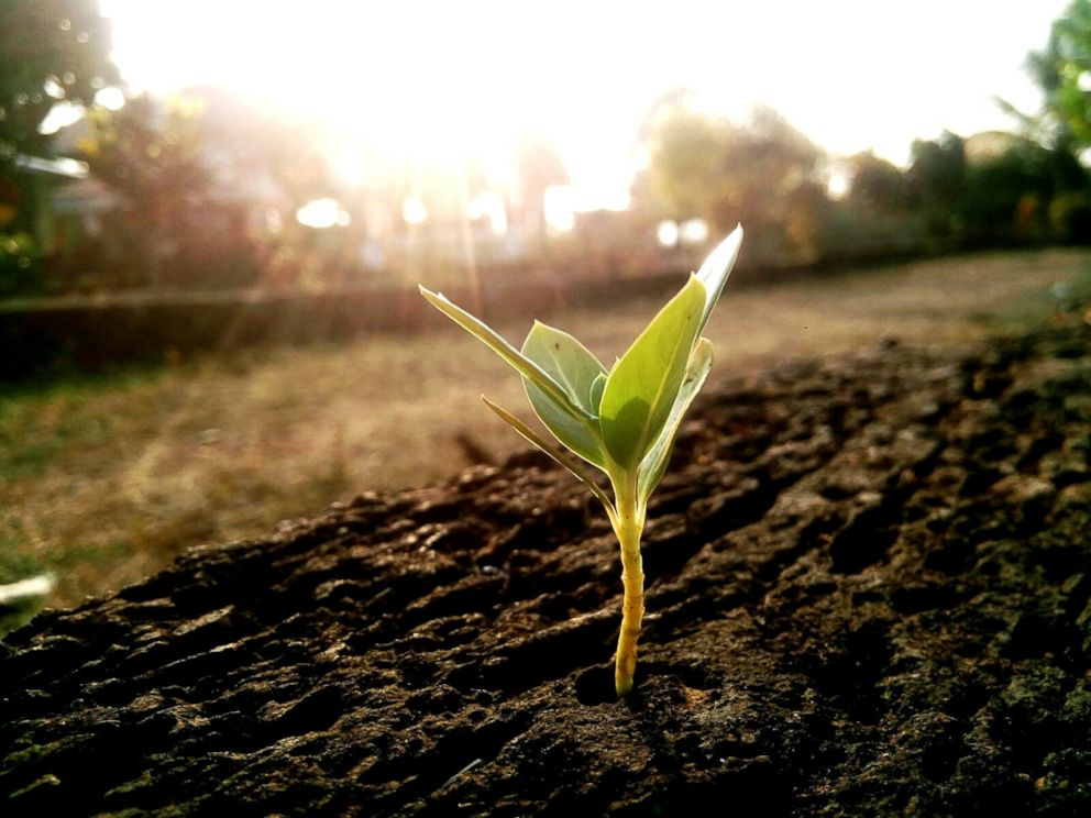PHOTO: A plant digs its way through the dirt to receive some much needed sunlight in this undated stock photo.