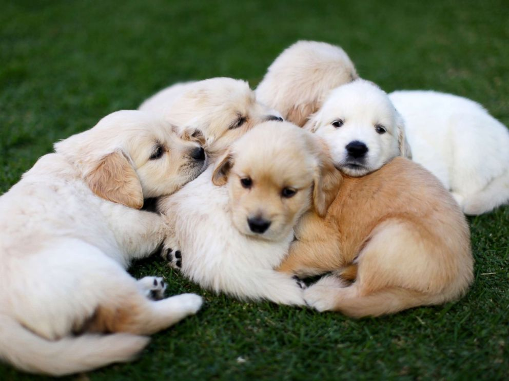 PHOTO: Puppies curl up together on the grass in this stock photo.