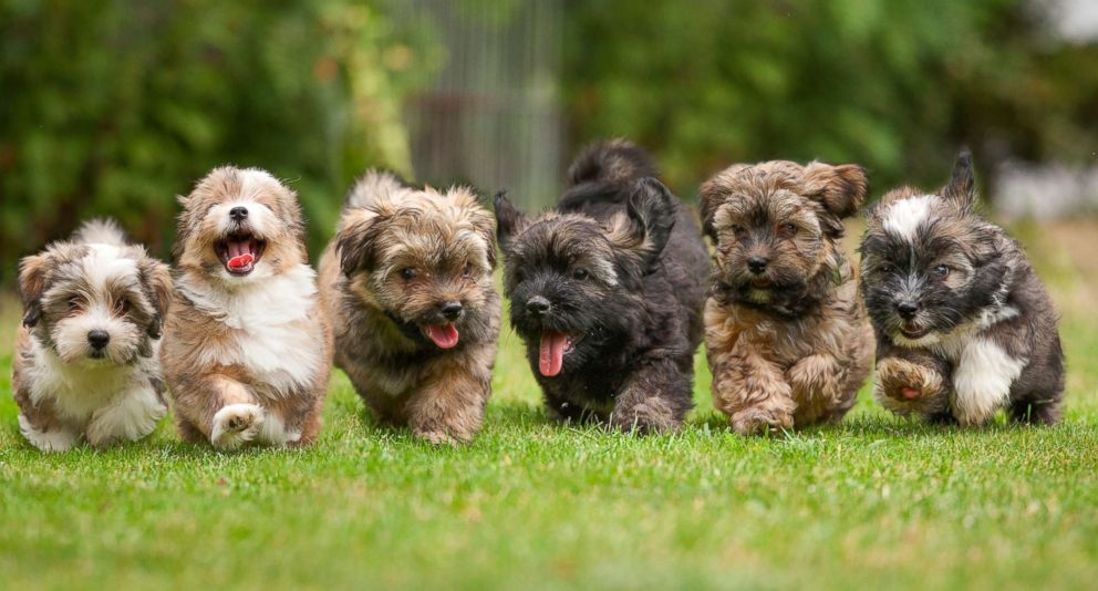 PHOTO: Puppies run on the grass in this stock photo.