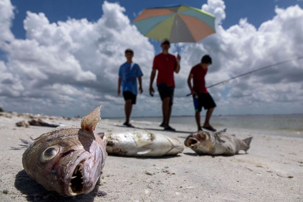 PHOTO: Several fish are seen washed ashore after dying in a red tide in Captiva, Fla., on Aug. 3, 2018.