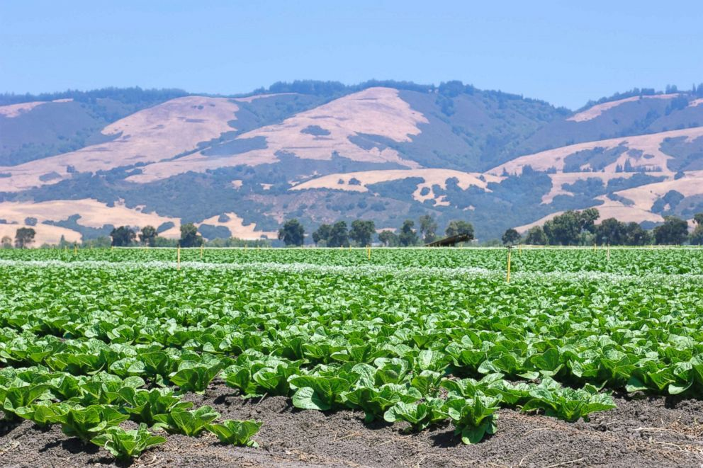 PHOTO: Field of romaine lettuce.