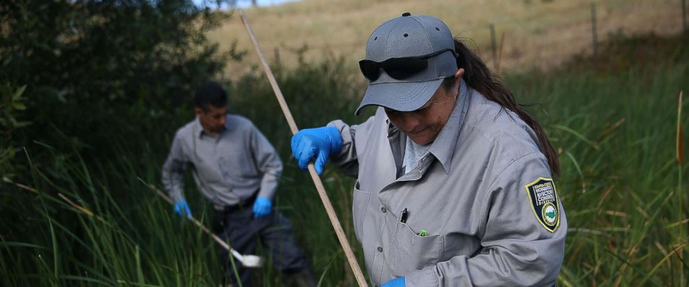 PHOTO: Contra Costa County Mosquito and Vector Control District technician Josefa Cabada checks for mosquito larvae in a retention pond on July 21, 2015 in Bay Point, Calif.