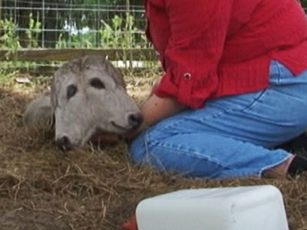 PHOTO: A Florida woman discovered a two-headed calf in her field and named the baby animal Annabel.