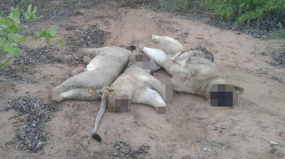 PHOTO: The remains of three lions killed by poachers for their body parts in Limpopo National Park, Mozambique.
