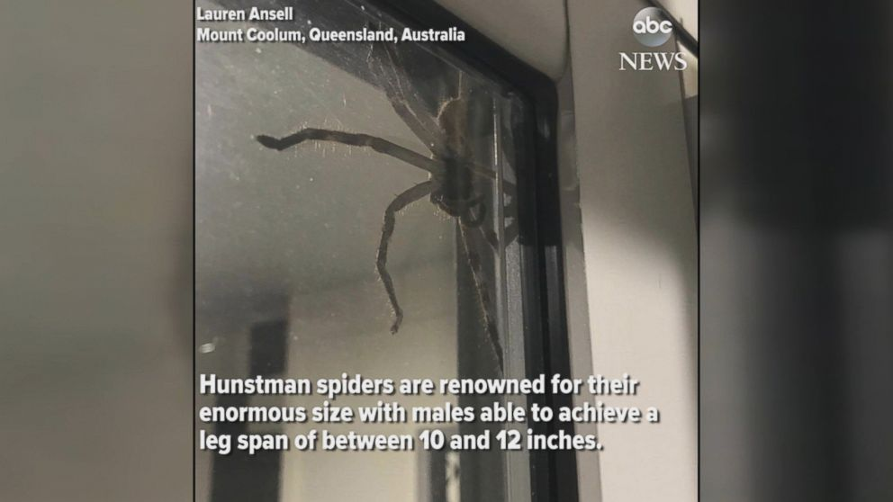 Hauntingly huge huntsman spider perches on window of