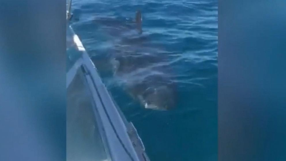 VIDEO: The shark spent 20 minutes circling the boat off the Australian coast.