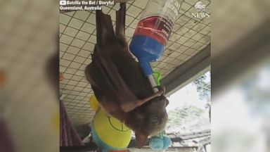 Rescued flying fox quenches her thirst Video Rescued flying fox quenches her thirst Video 180529 abc social flying fox hpMain 16x9 384