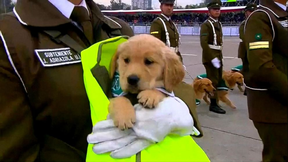The 45-day-old golden retrievers are the newest members of the national police's canine training unit.