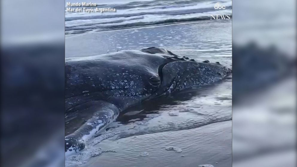VIDEO: Stranded humpback whale rescued in Argentina
