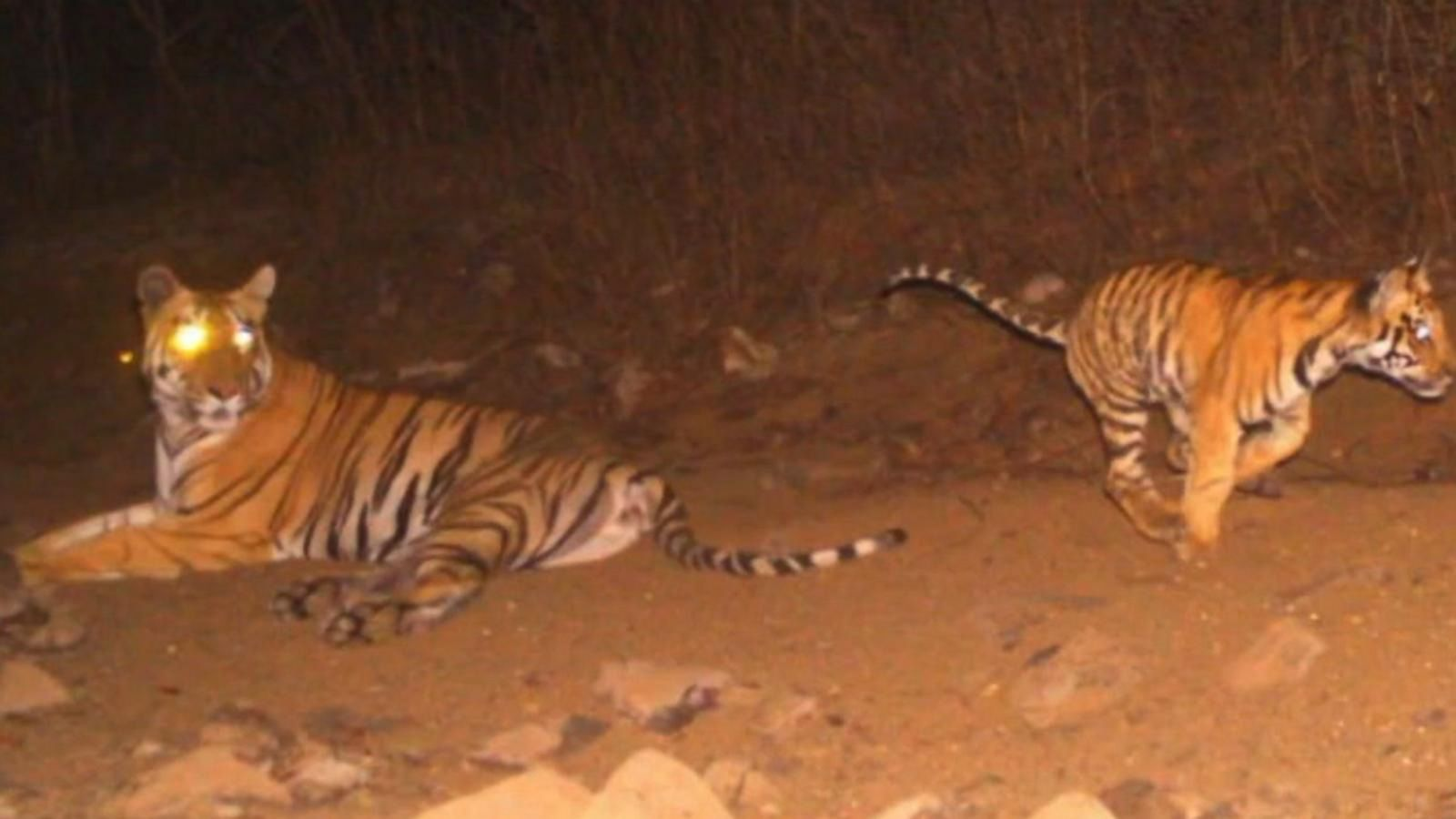 man eating tiger s killing in india leads to criticism from