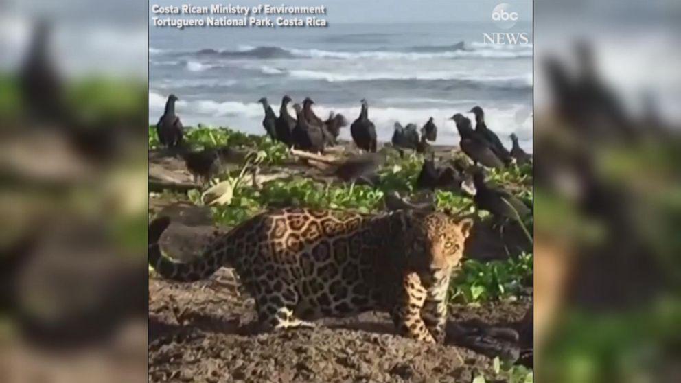 Jaguar Prowls On Costa Rican Beach