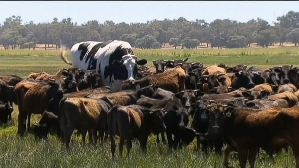 Holy Cow The Internet Is Loving Knickers The Giant Steer From