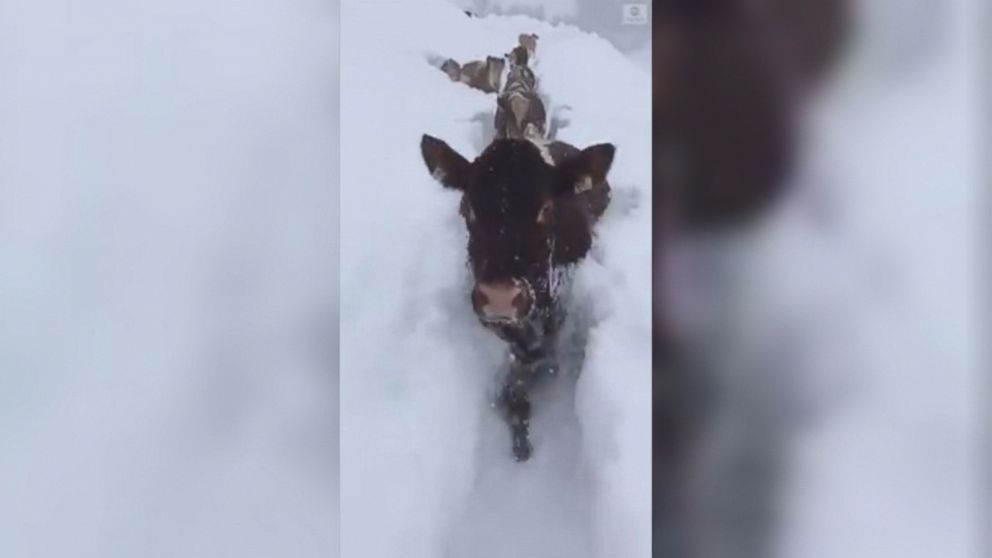 VIDEO: A herd of determined cattle wade through deep snow as a winter storm brought avalanche warnings and snarled traffic around parts of Austria.