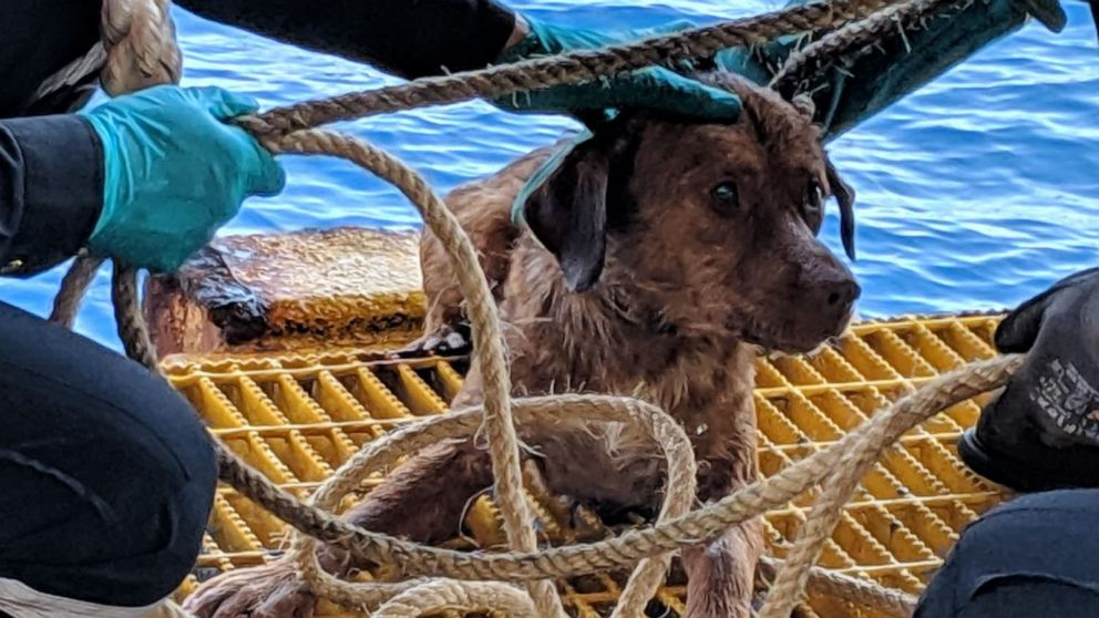 Oil rig workers rescue dog 137 miles off coast of Thailand - ABC News
