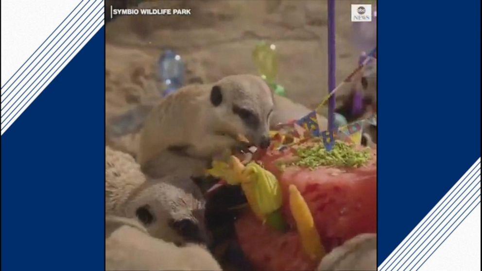 Meerkat quadruplets celebrate their first birthday with cake smash party