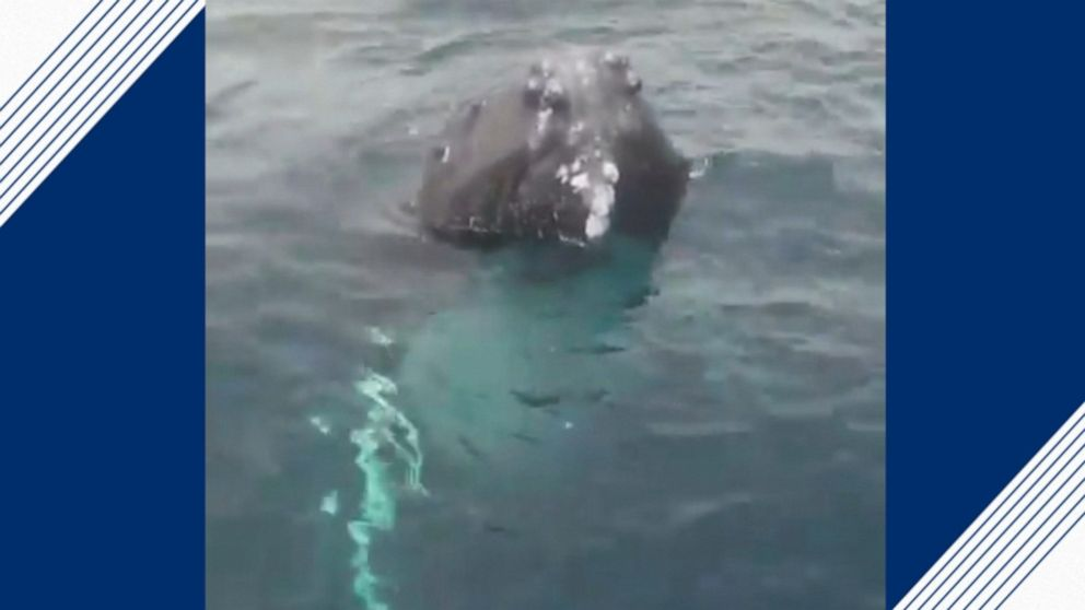 Humpback whales pop up out of water to greet watchers