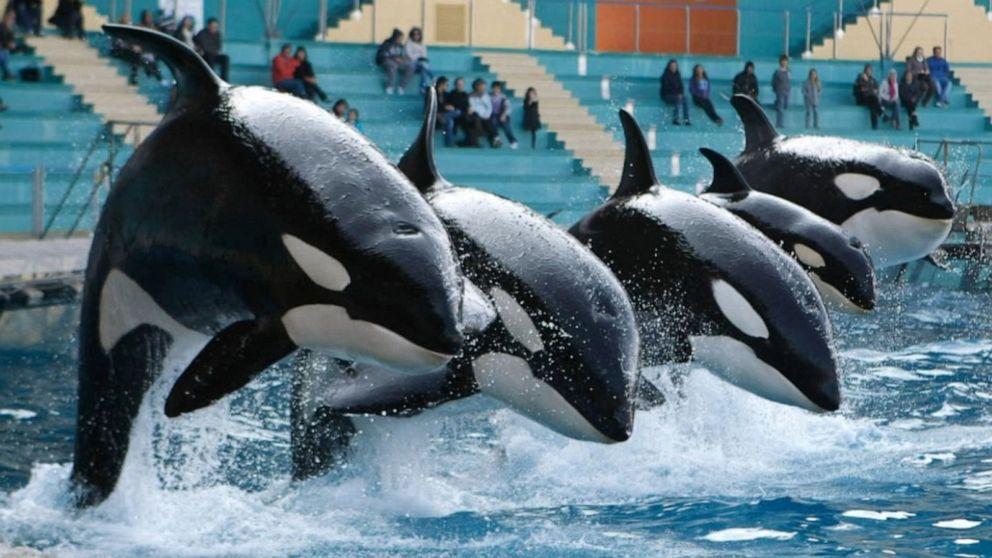 how long do orcas live in captivity