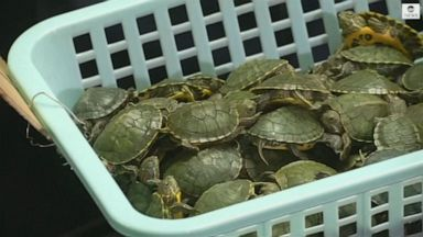 VIDEO: More than 5,000 turtles discovered in luggage at Kuala Lumpur airport