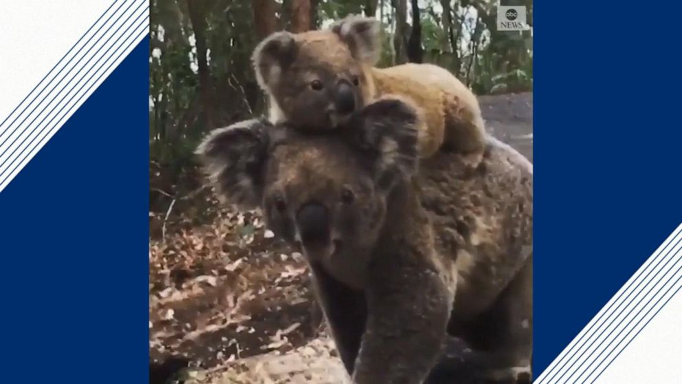 Young koala explores woodlands on mother's back