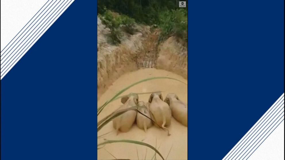 Elephants rescued from muddy mining pool in Malaysia, sticking together to climb out
