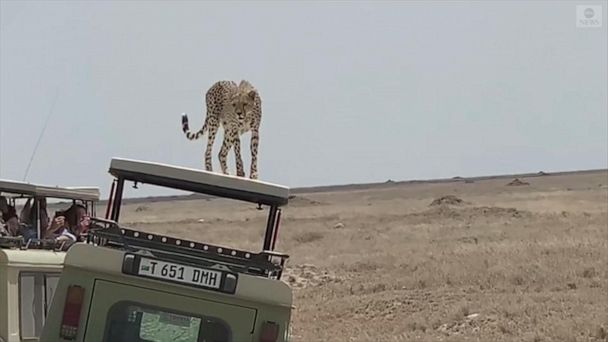 Cheetah chills out on Jeep with tourists inside