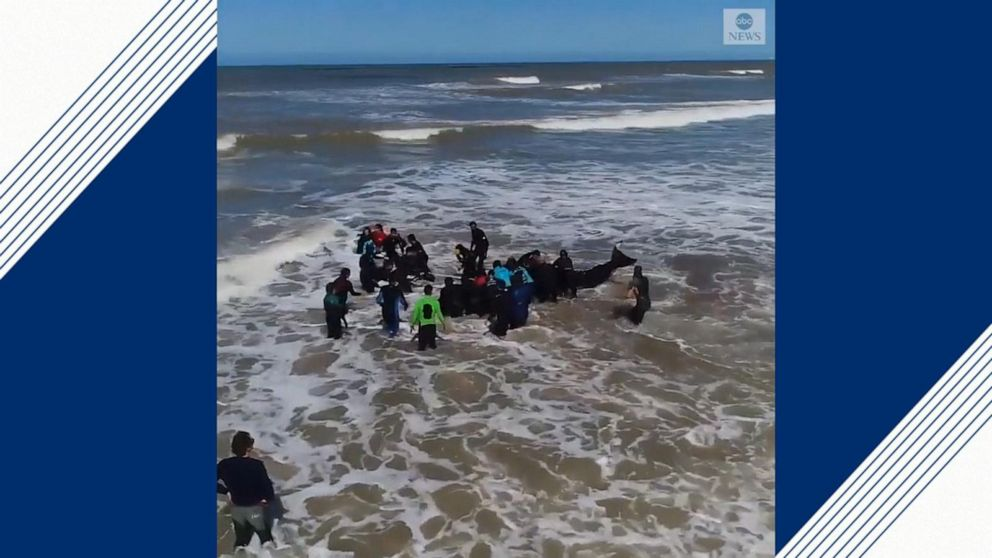 6 orcas saved from beach in Argentina