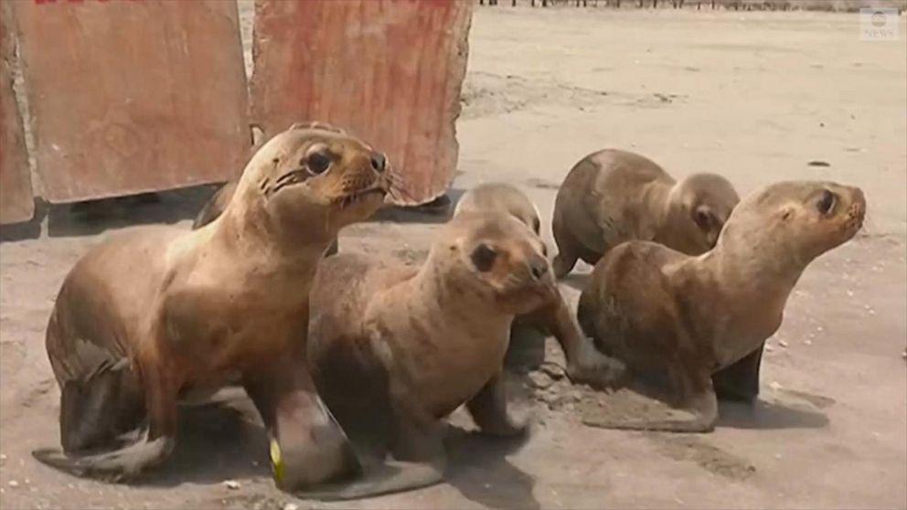 Sea lions return to ocean after successful rehabilitation