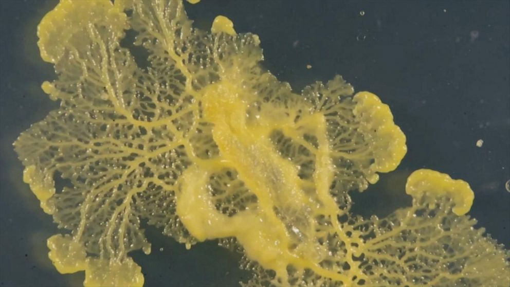 Strange yellow organism known as the 'blob' gets new exhibit at Paris zoo