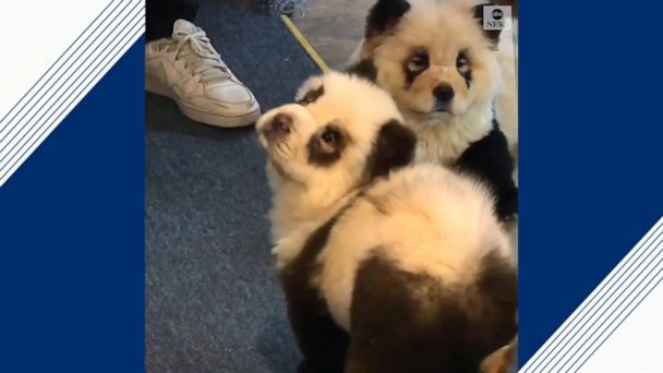 Cafe owner turns his dogs into pandas to draw in crowds