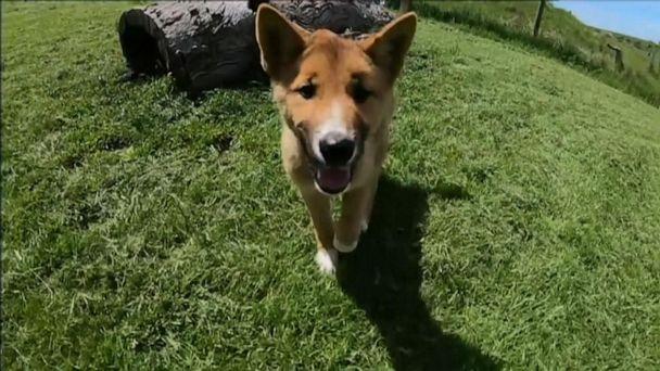Rare dingo pup enjoys life in a sanctuary