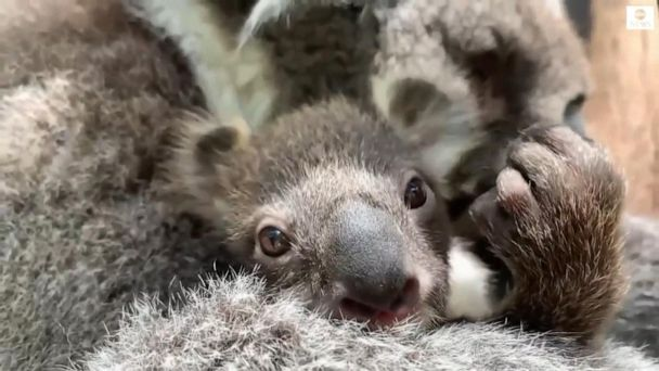 Melbourne Zoo welcomes first baby koala in 8 years