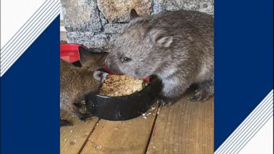 A wombat and a wallaby eat together as they are nursed back to health after a vehicle accident.