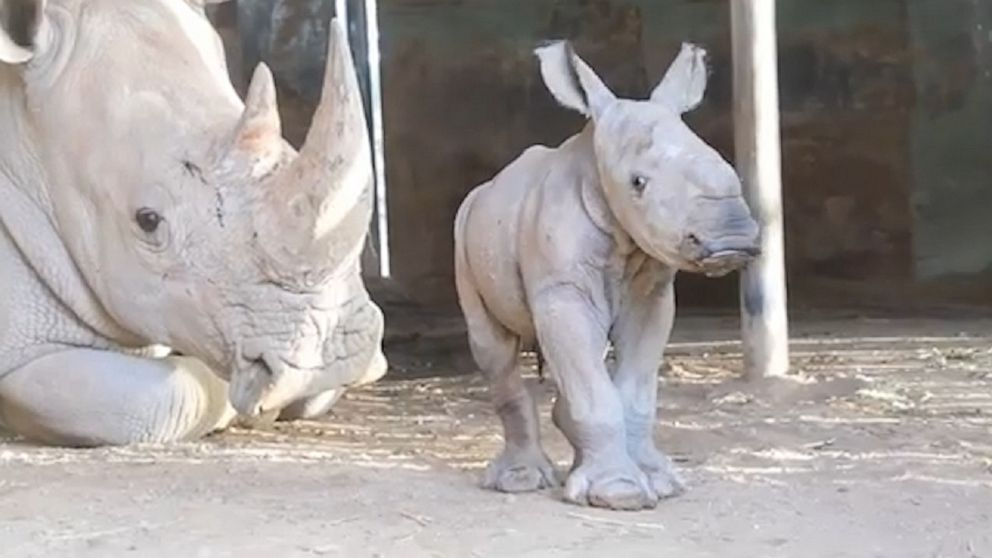 White rhino welcomes baby at Monarto Safari Park