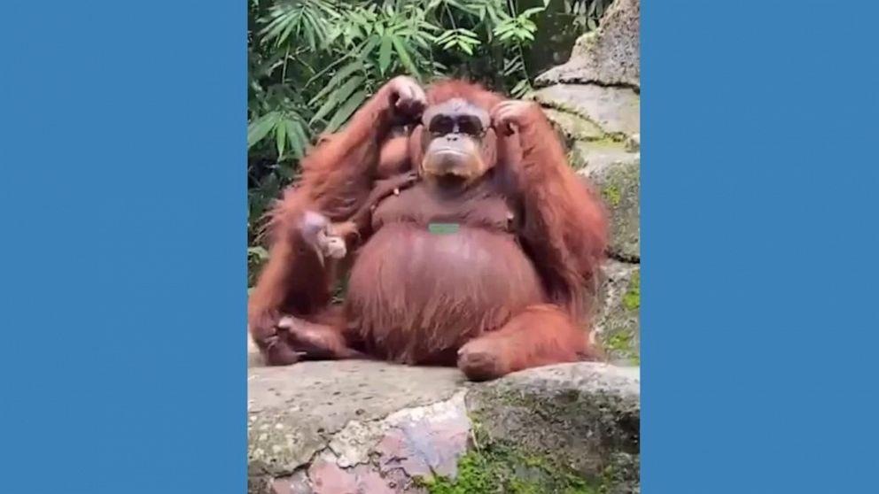 Orangutan tries on safari visitor's dropped sunglasses