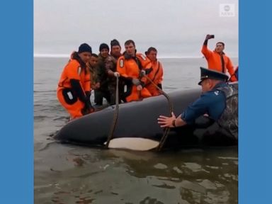 WATCH:  Baby orca rescued after becoming stranded off Russian coast
