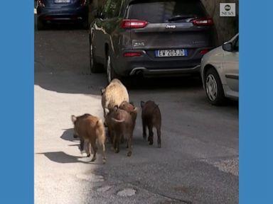 WATCH:  Wild boars roam streets of Rome suburb